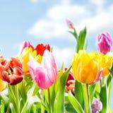 Fond frais de ressort des tulipes vibrantes Photos libres de droits