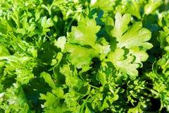 Fond frais juteux vert de persil d'herbe de texture photo libre de droits