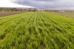 Fond frais vert en gros plan des pousses de blé ou de maïs dans le terrain l'été ou la journée de printemps ensoleillé lumineux N photos libres de droits