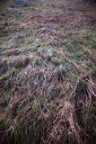 Fond gelé d'herbe Images libres de droits
