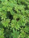 Fond - gouttes de pluie sur les feuilles vertes Image stock