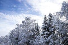 Fond horizontal de paysage de bouleau d'arbres de Noël de forêt d'hiver de neige de papier peint diagonal neigeux du soleil photographie stock libre de droits