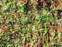 Fond humide d'algue Photos libres de droits