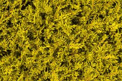 Fond jaune d'herbe Image libre de droits