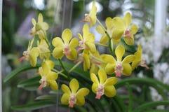 Fond jaune d'orchidées Images libres de droits
