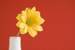 Fond jaune de couleur solide de marguerite Photos stock