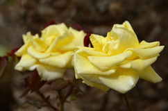 Fond jaune de couples de roses Photographie stock