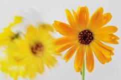 Fond jaune de fleur Photo stock