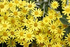 Fond jaune de fleur Images stock