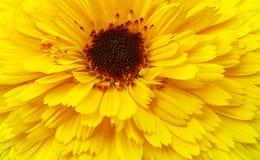Fond jaune de fleur Photographie stock