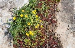 Fond jaune de fleur d'arvensis de Calendula Images libres de droits