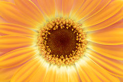Fond jaune de fleur de gerbera Photo stock