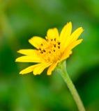 Fond jaune de fleur et de tache floue Photo stock
