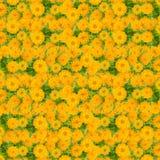 Fond jaune de fleur de zinnias Photo stock