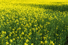 Fond jaune de gisement de fleur Photos libres de droits