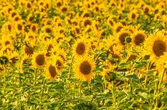 Fond jaune de gisement de tournesol photographie stock