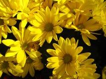 Fond jaune de marguerite Photographie stock