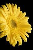 Fond jaune de noir de marguerite de Gerbera Photo libre de droits