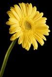 Fond jaune de noir de marguerite de Gerbera Image libre de droits