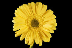 Fond jaune de noir de marguerite de Gerbera Image stock