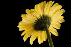 Fond jaune de noir de marguerite de Gerbera avec la gouttelette Photos stock
