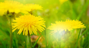 Fond jaune de pissenlit photo stock