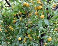 Fond jaune de prunes Photos libres de droits