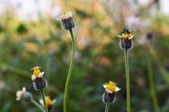 Fond jaune de tache floue de fleurs de pré Photographie stock
