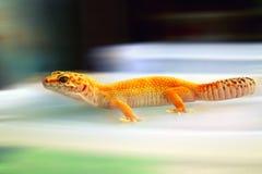 Fond jaune de tache floue de s'introduire de gecko de plan rapproché photo libre de droits
