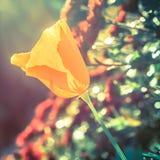 Fond jaune de tulipe Photographie stock