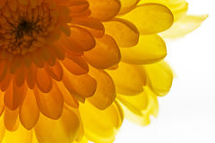 Fond jaune ensoleillé de chrysanthème Photo stock