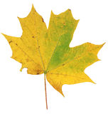 Fond jaune et vert de blanc d'Autumn Maple Leaf Isolated On Image stock