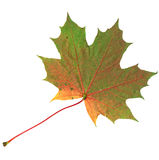 Fond jaune et vert de blanc d'Autumn Maple Leaf Isolated On Photographie stock