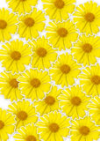 Fond jaune frais de fleur (orientale de Doronicum) Photo stock