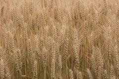 Fond jaune mûr de blé, plan rapproché de grain photos libres de droits