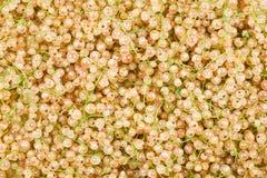 Fond juteux blanc de groseilles photo stock