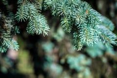 Fond La texture du pin bleu s'embranche sur le cadre entier Cadre horizontal Images libres de droits