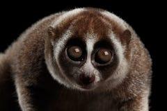 Fond lent de Loris Isolated Black de lémur en gros plan photographie stock