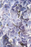 Fond lilas Photos stock