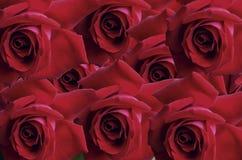 Fond lumineux de grande rose de rouge de têtes Image libre de droits