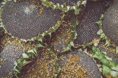Fond mûr de tournesols photos stock