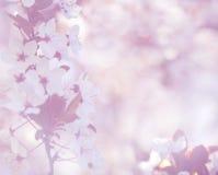 Fond mou élégant de fleur de cerise Images libres de droits