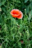 Fond mou de vert de nature de pavot de foyer Photo stock