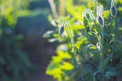 Fond mou de vert de nature de pavot de foyer Image libre de droits