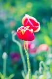 Fond mou de vert de nature de pavot de foyer Photographie stock