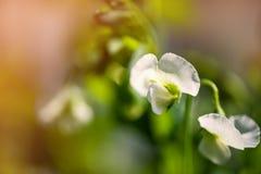 Fond naturel avec les plantes de fleur et le pois Copiez l'espace photographie stock