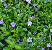 Fond naturel, bigorneaux bleus tendres photo stock
