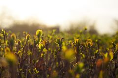 Fond naturel d'?t? de ressort Copiez l'espace Jeune arbuste juteux frais en nature photo libre de droits