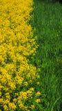 Fond naturel de couleurs jaunes et vertes Canola de floraison en parc naturel St Petersbourg, juin 2017 Images stock