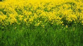 Fond naturel de couleurs jaunes et vertes Canola de floraison en parc naturel St Petersbourg, juin 2017 Photo stock